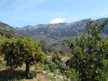drzewka pomarańczowe