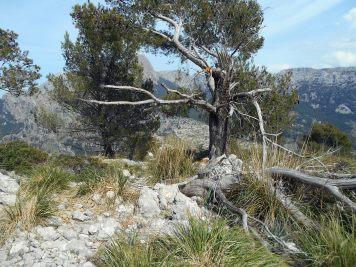 przy tym drzewie zaczynam wspinaczkę na szczyt