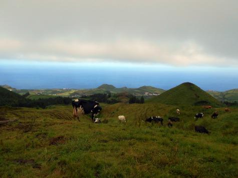 krów na Azorach nie brakuje