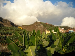 plantacje bananów