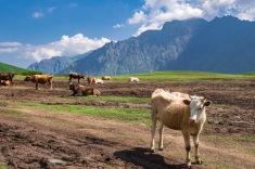 krowy Gruzja